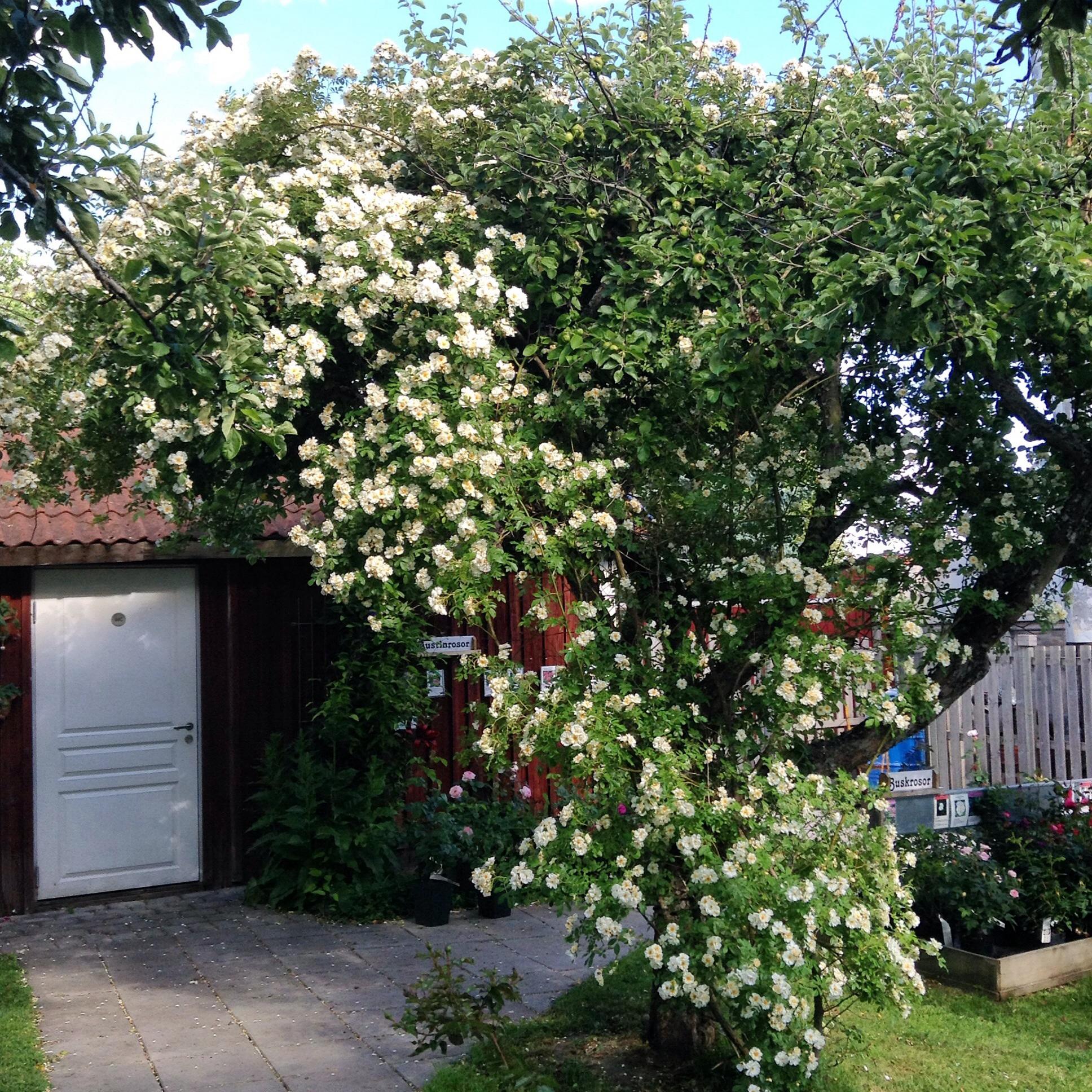 trädgård honungsros inspiration